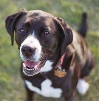 Boxador (Boxer & Labrador Mix)   Must Love Dogs   Dog ...