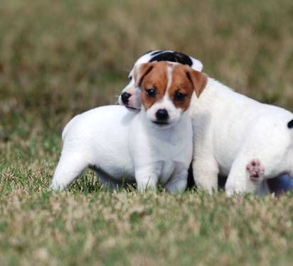 Long Legged Jack Russell Puppies Jack Russell Puppies Jack Russell Dogs Jack Russell