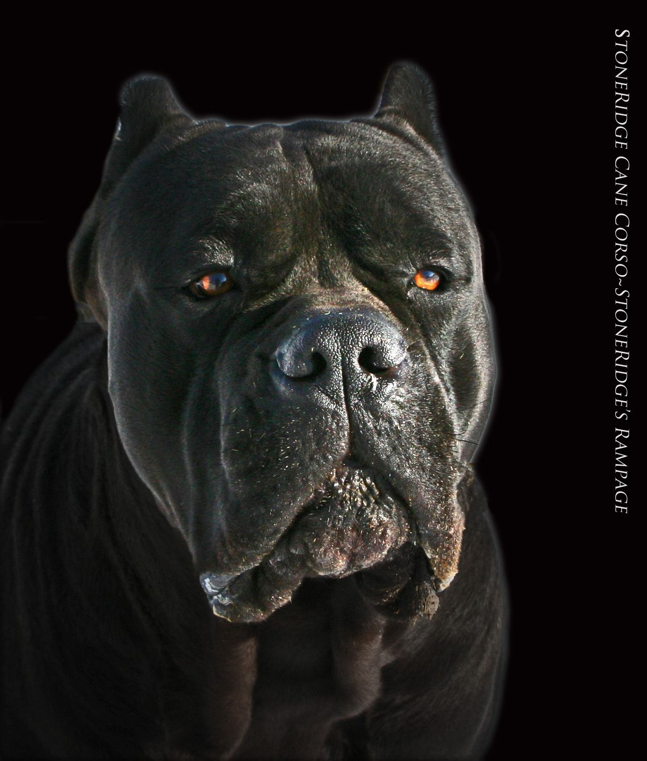 Cane Corso Cane Corso Cane Corso Puppies Corso Dog