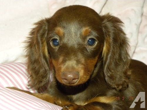 Calais Longhair Female Chocolate Tan Dachshund Dachshund