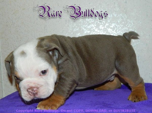 Pin On Available Akc Rare Color English Bulldog Babies