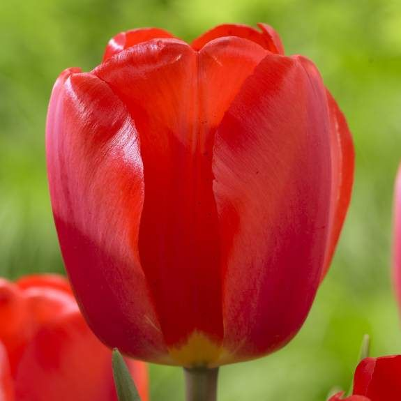 Tulip darwin hybrid oxford my patio garden pinterest golden extra large blood red flowers with a golden yellow base and black center oxford is a strong grower and puts on a great mid season show mightylinksfo
