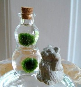 Cute Little Marimo Moss Ball Pet 3 Marimo Moss Ball Mini