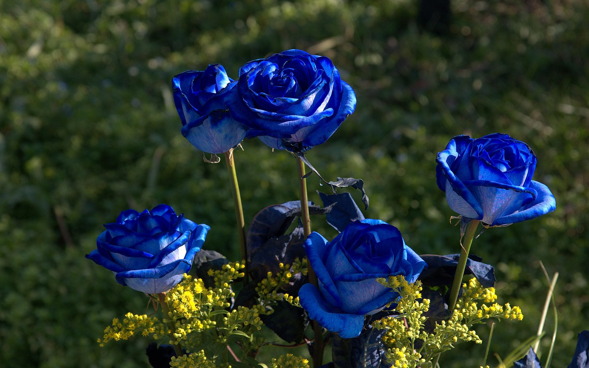 Blue Roses Photos And Wallpaper Flowers Pinterest Blue