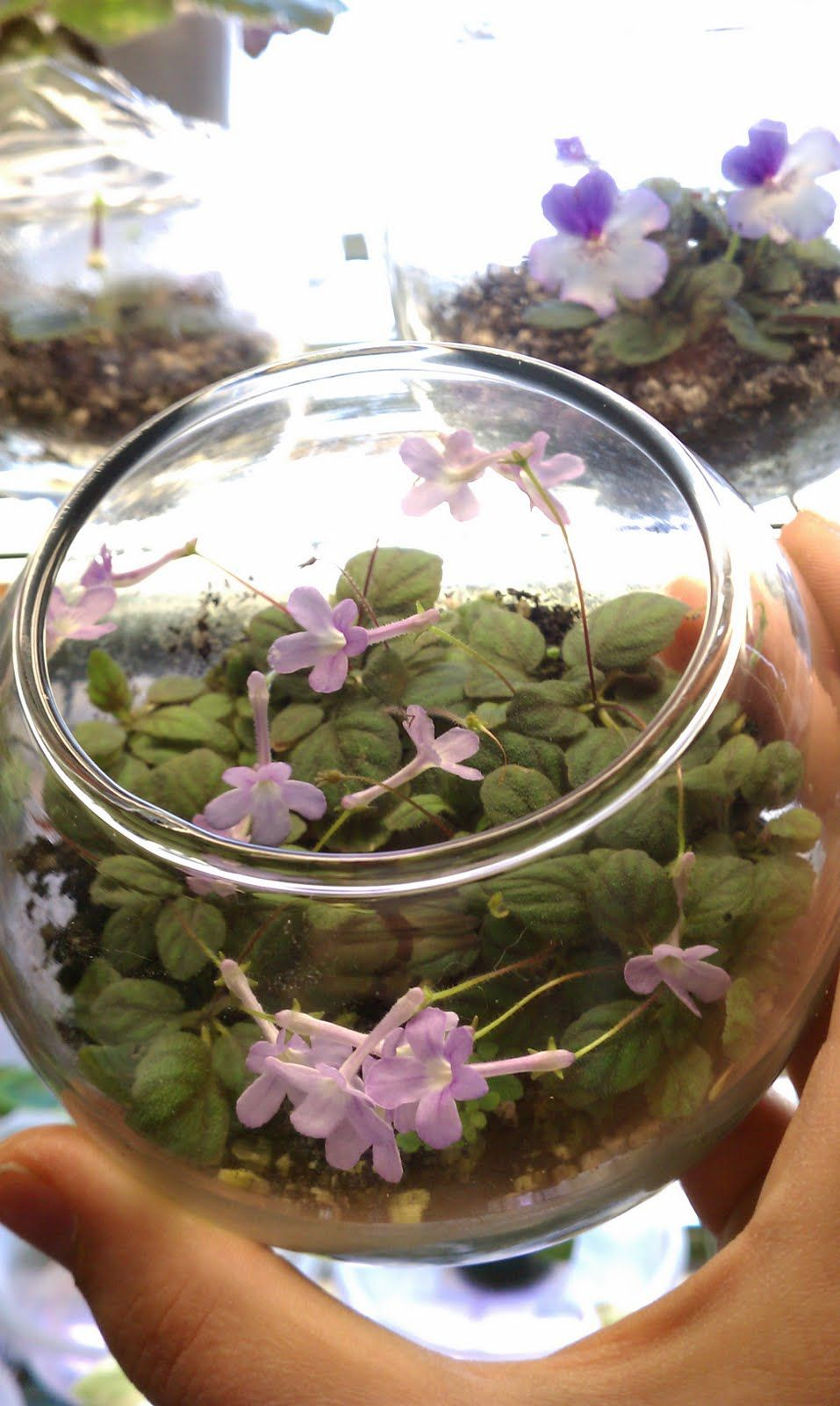 Sinningia pusilla epicias in pinterest flowers plants