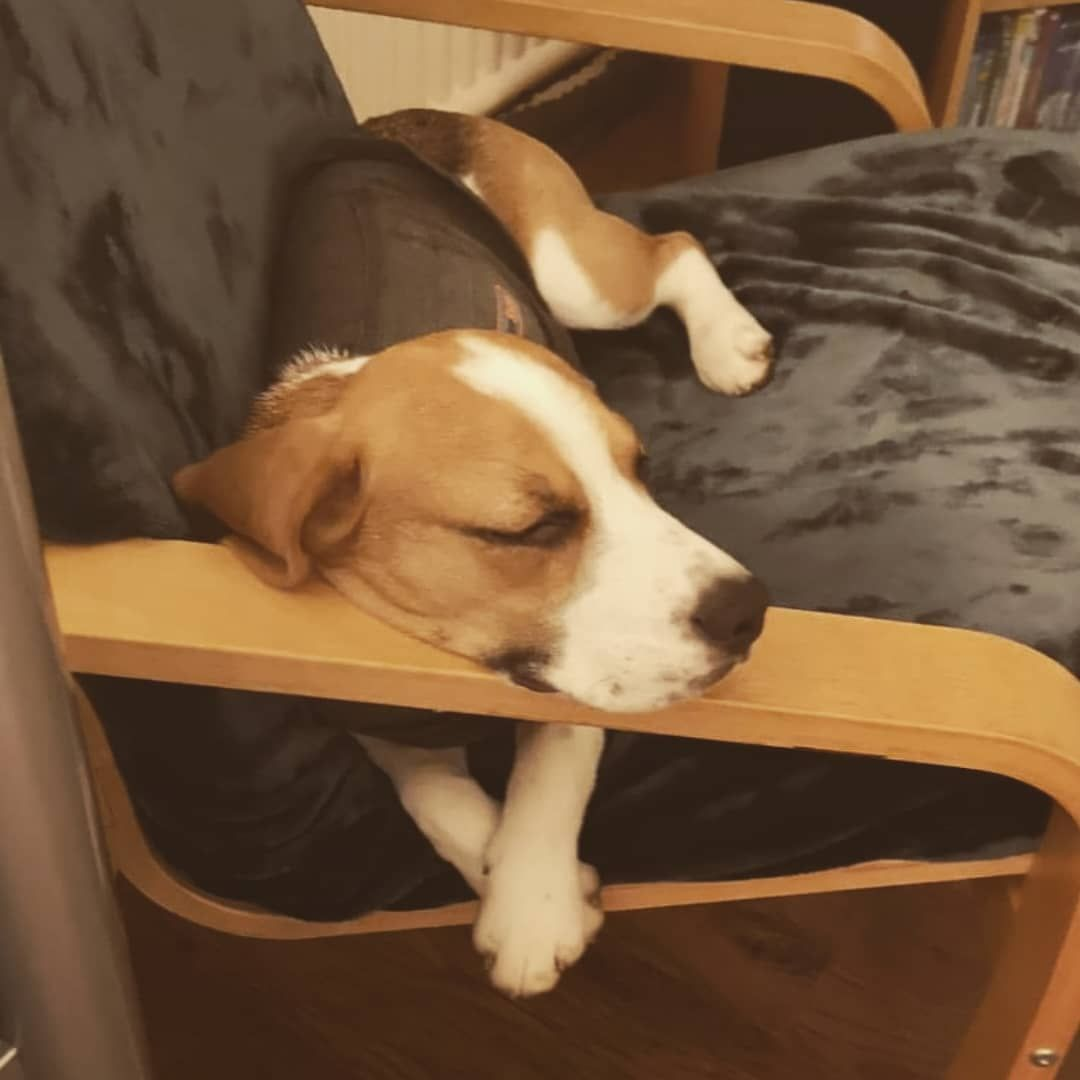 Super Calm In My New Thunder Jacket Beagle Puppy Cute Love