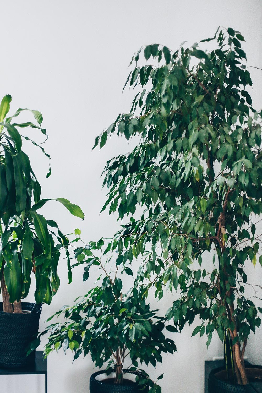 Große Zimmerpflanzen Wenig Licht der pflanzen guide 15 stylische und pflegeleichte zimmerpflanzen