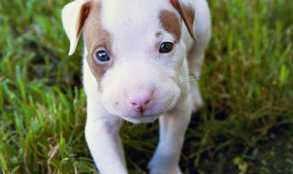 Pitbull Puppy Training Tips Advice Dogs Hypoallergenic Dog