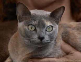 Tonkinese Cats Breed Profile And Facts Tonkinese Cat Cat