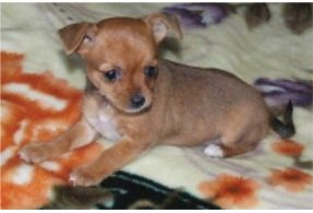 A Chorkie Ok I M Making Up Names Again But It S So Cute
