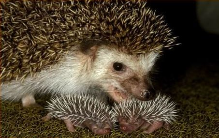 Hedgehog Babies Bebe Herisson Image Bebe Animaux Adorables