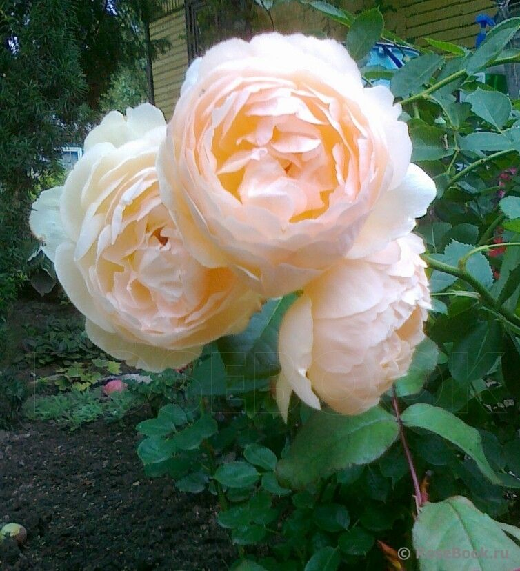 Inspirational Wollerton Old Hall Rose
