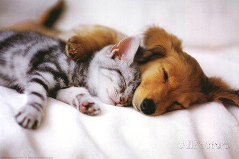 Cuddles (Sleeping Puppy and Kitten) Art Poster Print Poster