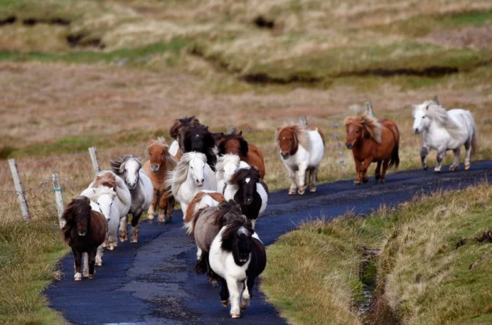 There's a Scottish island which has way more miniature horses than people #shetlandislands