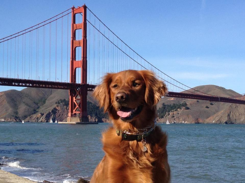 Golden Gate Golden I Like Dogs Sleeping Dogs