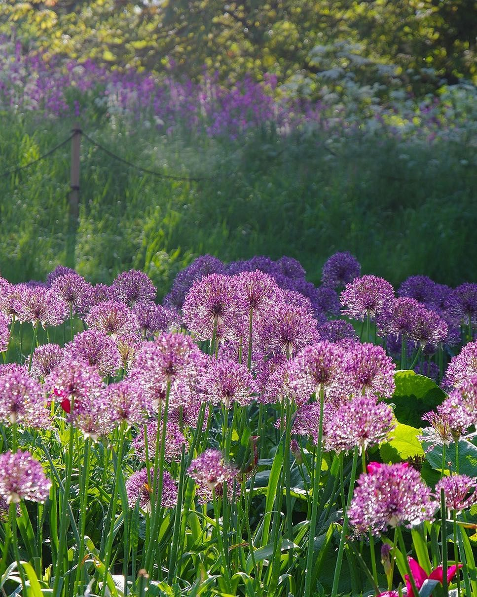 Allium Pflanzen Wann Allium Purple Rain With A Matching Backdrop Of Red