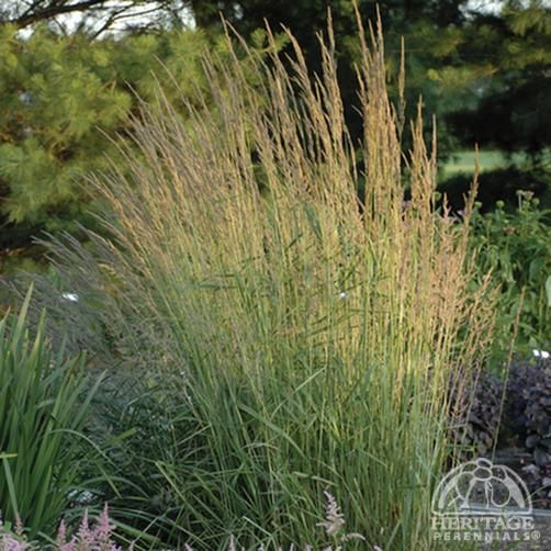 Plant Profile For Calamagrostis Acutiflora Eldorado Feather Reed Grass Perennial Drought Tolerant Landscape Plants For Small Gardens Ornamental Grasses