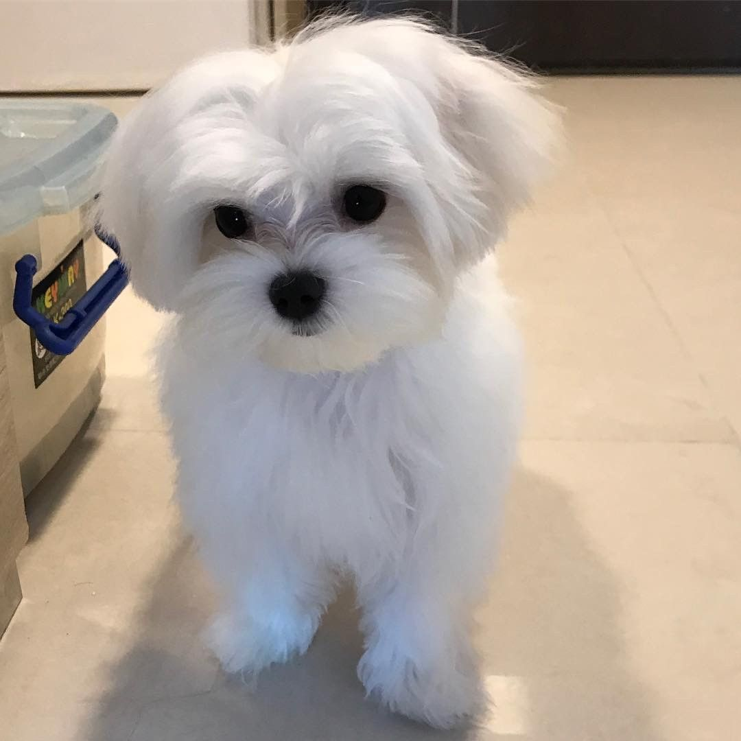 Maltese Puppies For Sale Orlando Fl In 2020 Maltese Puppy