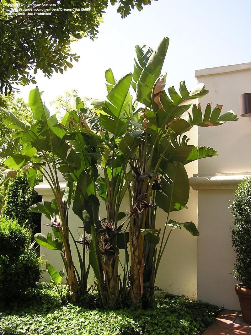 Full size picture of white bird of paradise white Plantas tropicales interior
