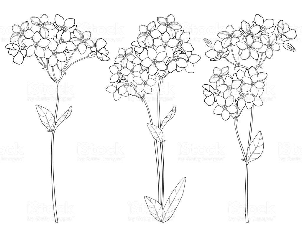 Vector Set With Outline Forget Me Not Or Myosotis Flower Bunch