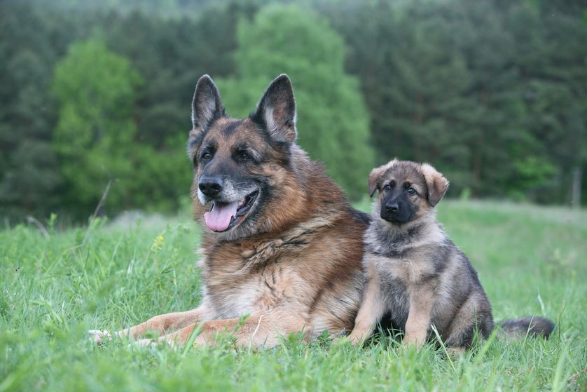 The Truth About How Dogs Age Dog Ages Dogs Pets