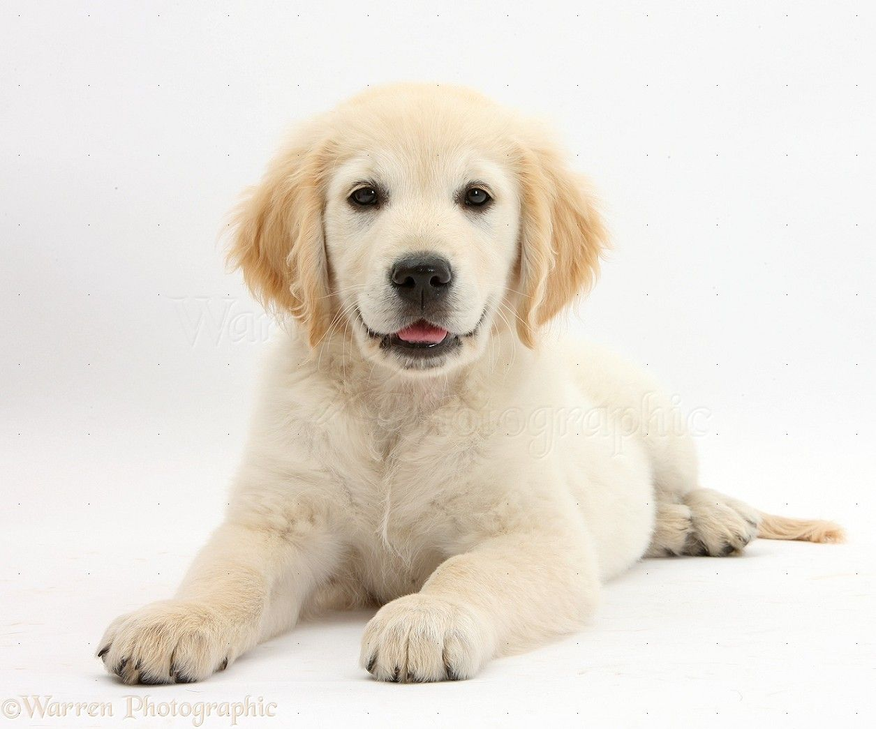 WP33709 Golden Retriever pup lying with chin on the floor