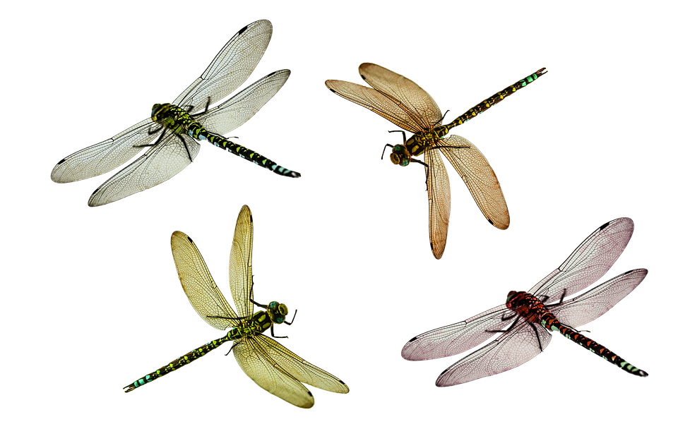 Image Result For Dragonfly Png Types Of Dragonflies Dragonfly Images Dragonfly