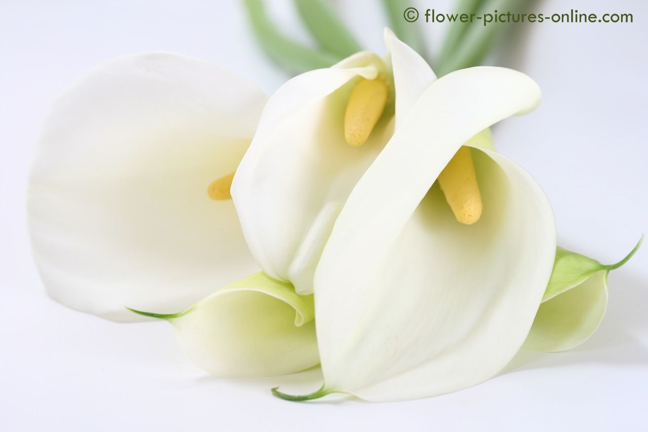 Download Free Calla Lily Wallpaper