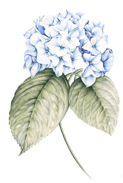 Floral Baroque Hydrangea Watercolor Flowers Flower Painting