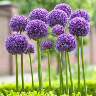 Allium Bulbs For Sale Allium Flowers Planting Flowers Plants