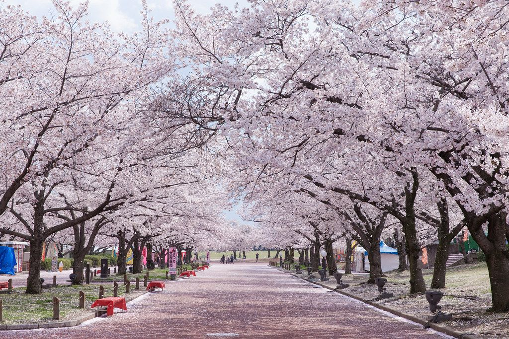 Japan Cherry Blossom Viewing In 2020 Best Dates Places To See Sakura In Japan Avenue On Japan Cherry Blossom Festival Japan Landscape Cherry Blossom Japan