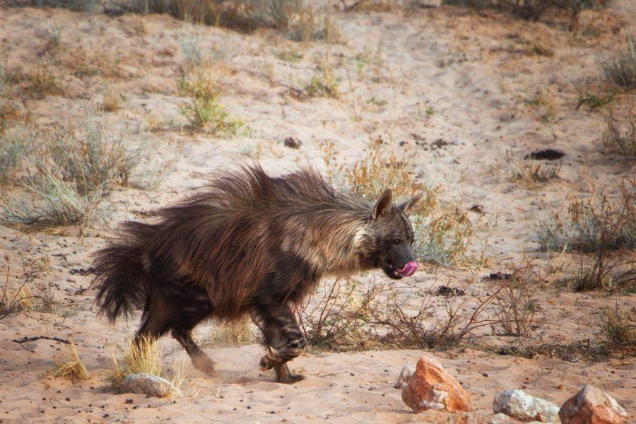 Africa A Brown Hyena Hyaena Brunnea Formerly Parahyaena