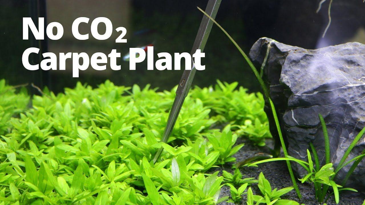 Easy low-tech aquarium carpet plant | Aquarium design ...