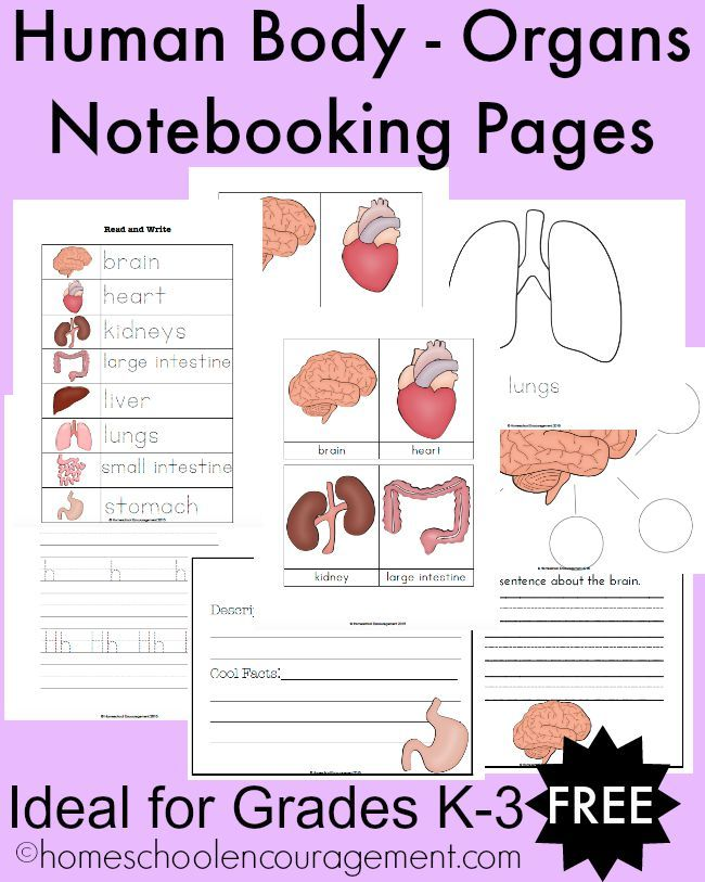 FREE Human BodyOrgans Notebooking Pages for Grades K3 – Human Body Worksheets for Kindergarten