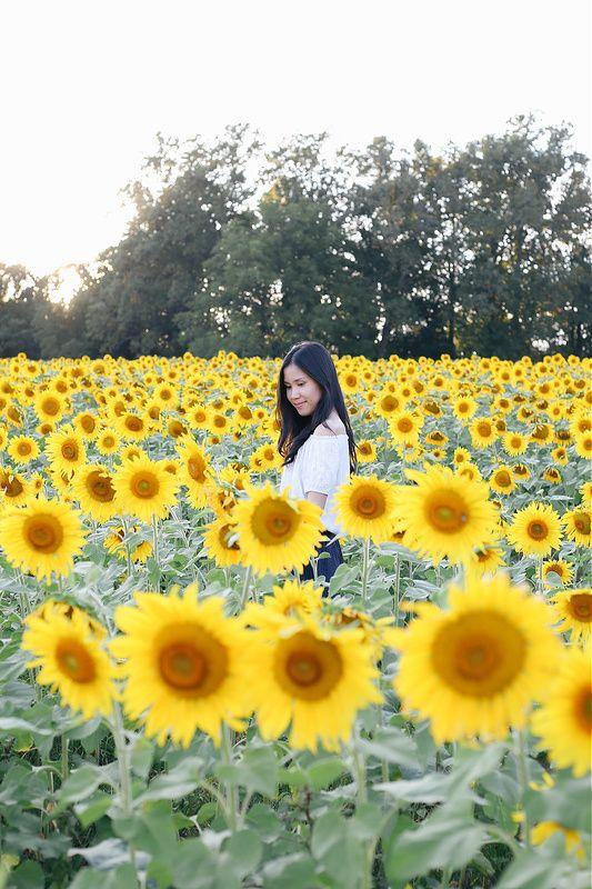 Pin By Melissa Lewis On Sunflowers Sunflower Fields Fields Sunflower