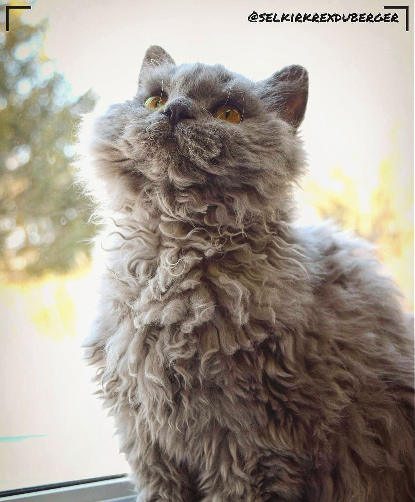 Peluche Selkirk Rex Chat Mouton Selkirk Rex Cats And Kittens