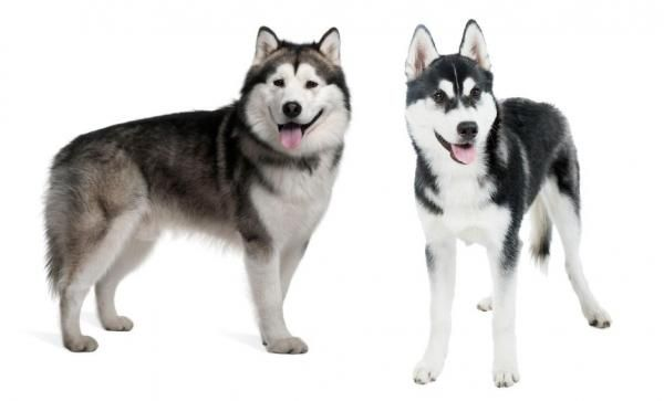 Differences Between The Alaskan Malamute And The Siberian Husky