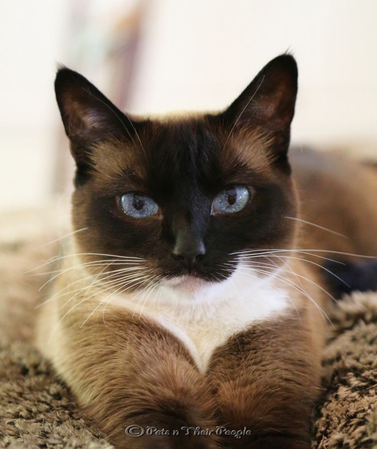 siamese cat family photography - Google Search
