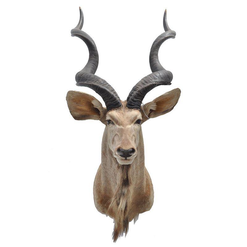 kudu head - Google Search