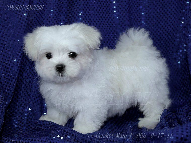 Google Image Result For Http Www Sonshineacres Com Files Cricket 2520m1ac Maltese 2520puppies Jpg Teacup Puppies Maltese Maltese Puppy Puppies