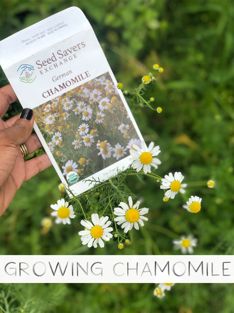 How To Grow Chamomile Chamomile Growing Chamomile Seeds Chamomile Plant