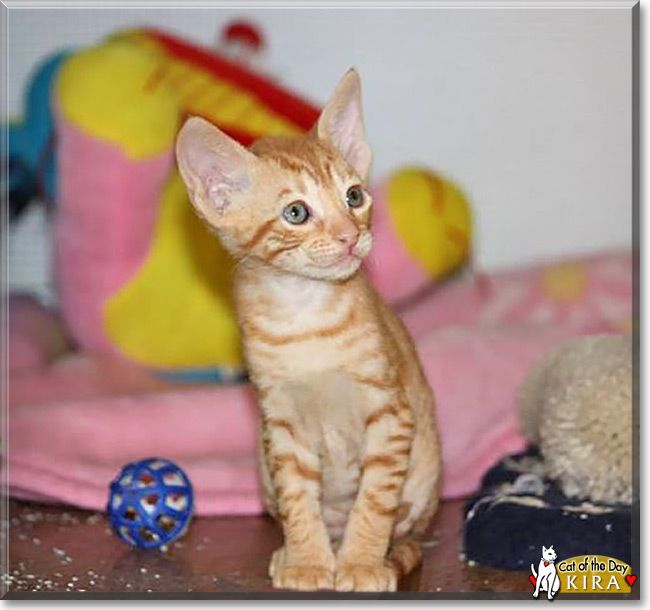 Cute Kira The Cornish Rex From Montreal Quebec Canada Is Today S Cat Of The Day Read Kira The Playful Kitten S Story And See Her Photo At Http Catofthe Djur