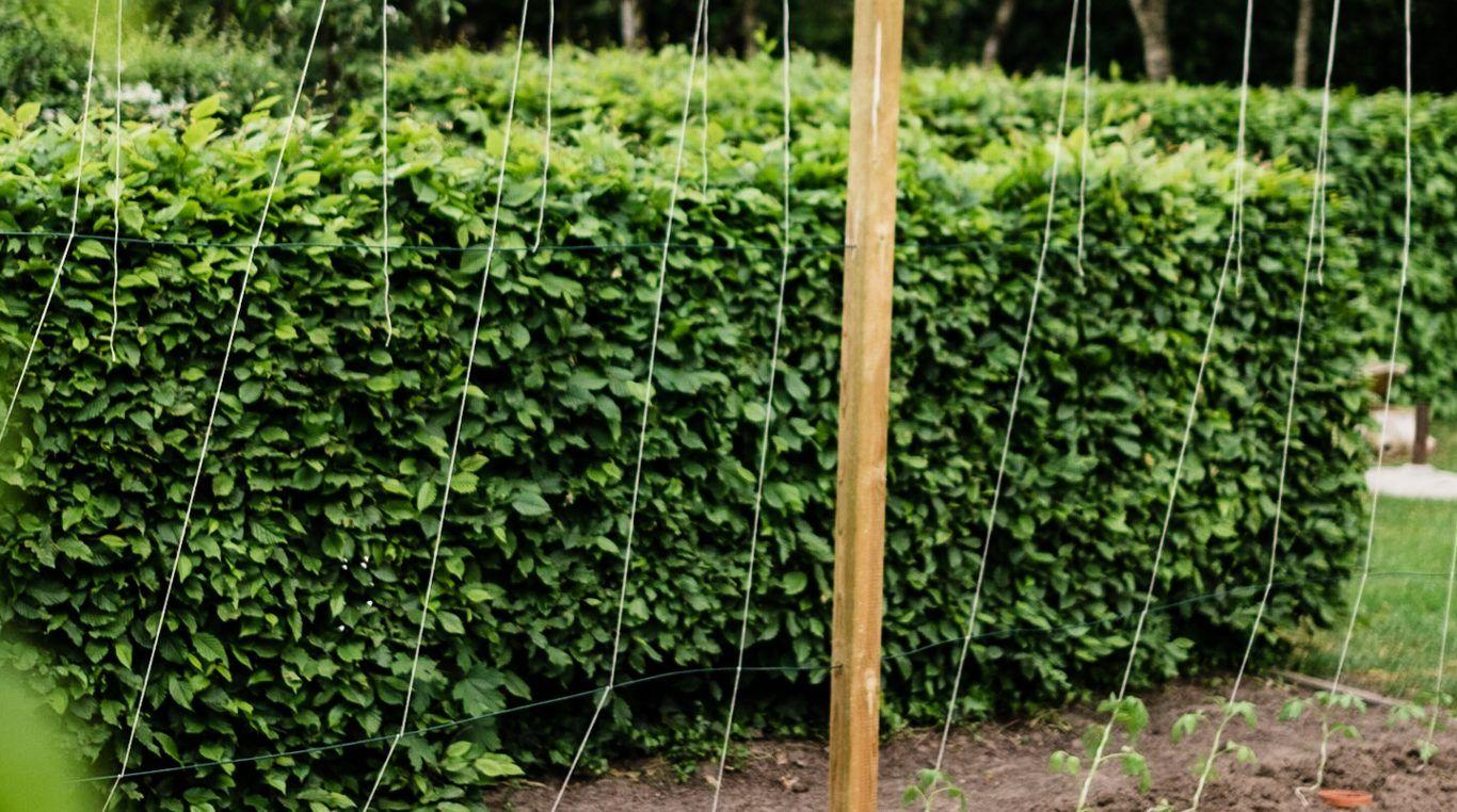 Tomaten Vermehren Pflegen Ernten Teil 5 Auspflanzen Und Rankhilfe Diy Osmers Garten