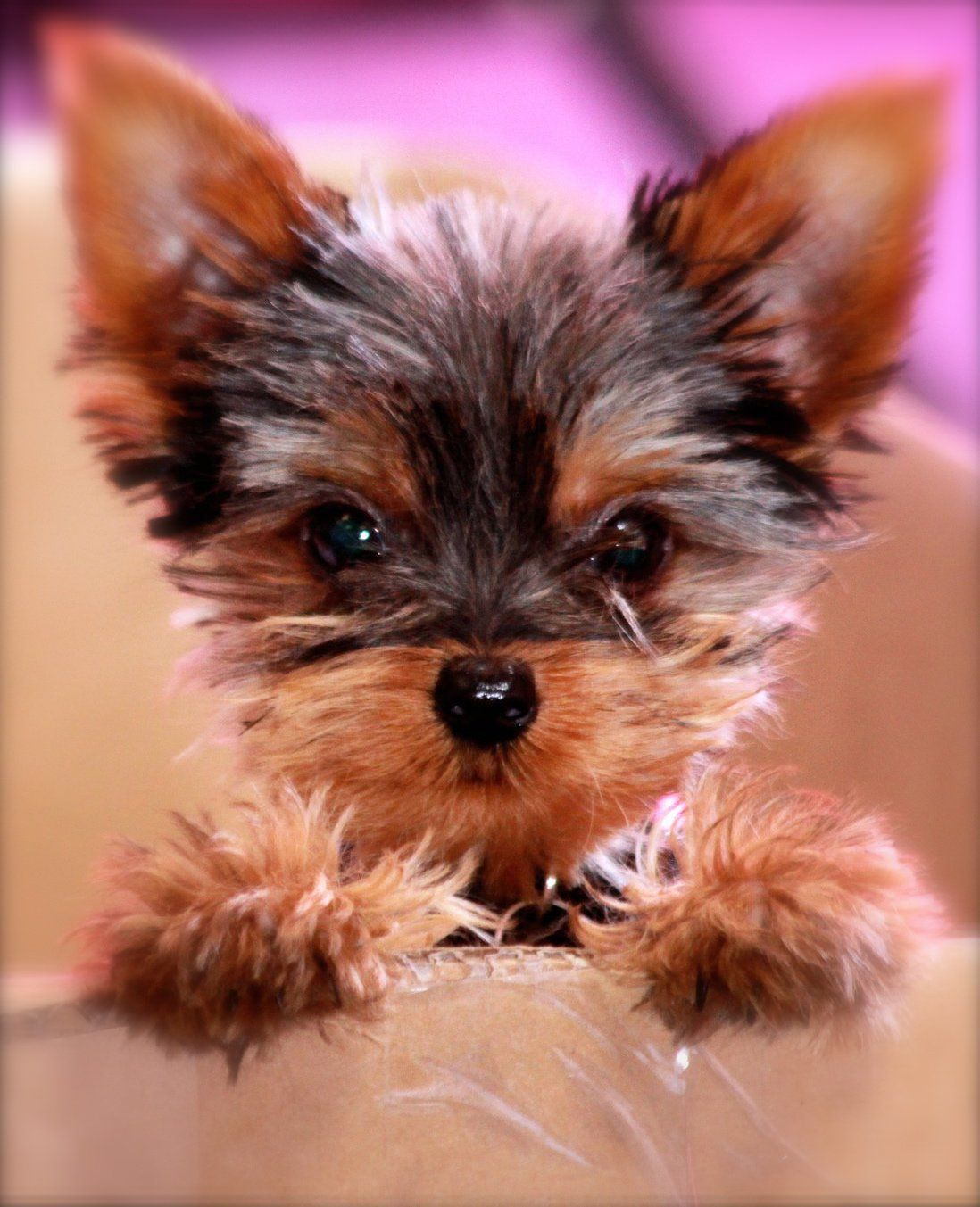 yorkie puppies information will you just look at that yorkie cute face dogs 1617