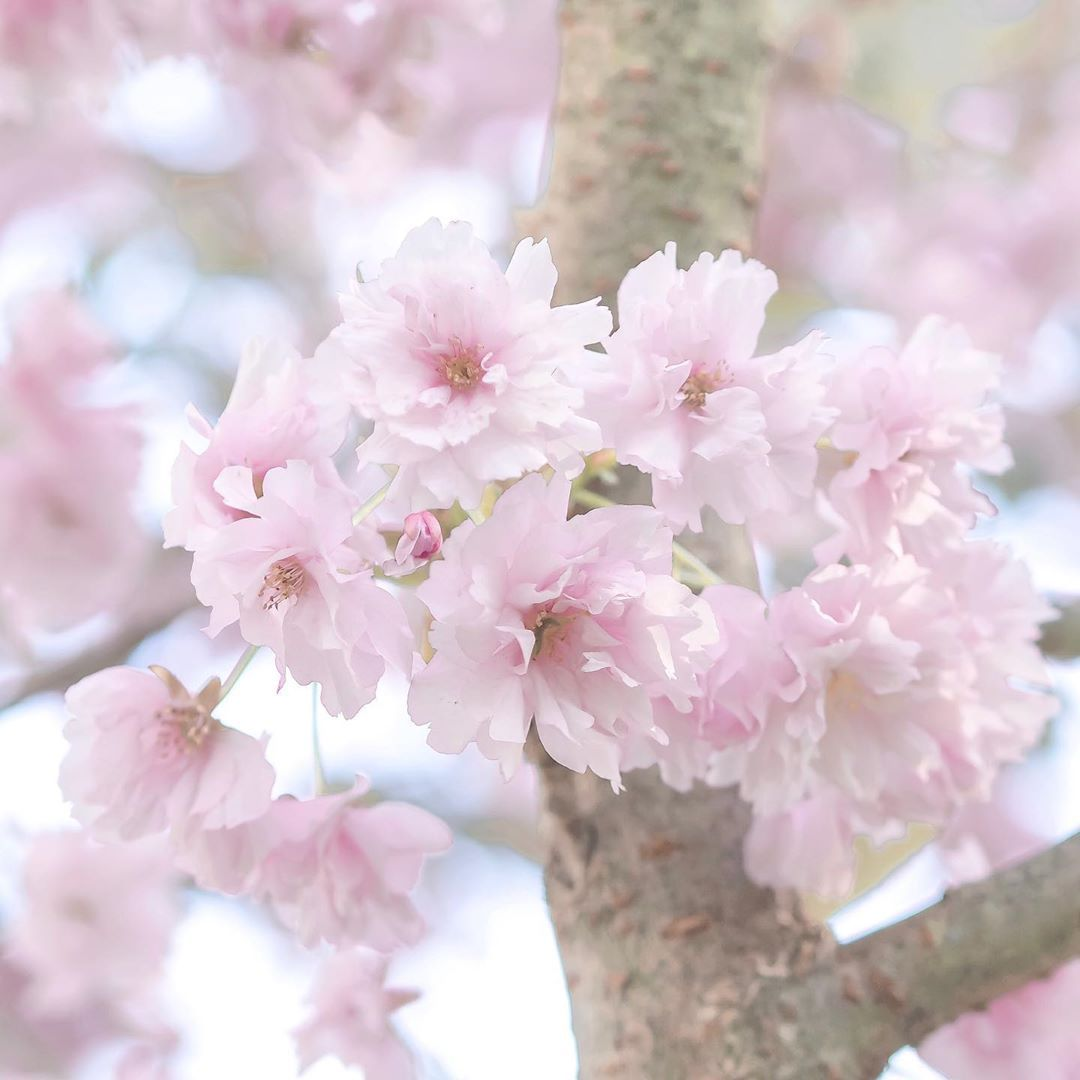 Beautiful Garlands Of Pink Blossoms On My Walk Today Cherry Blossom Is So Pretty And Fluffy When It Blooms And Once I Pink Blossom Flowers Blooming Flowers