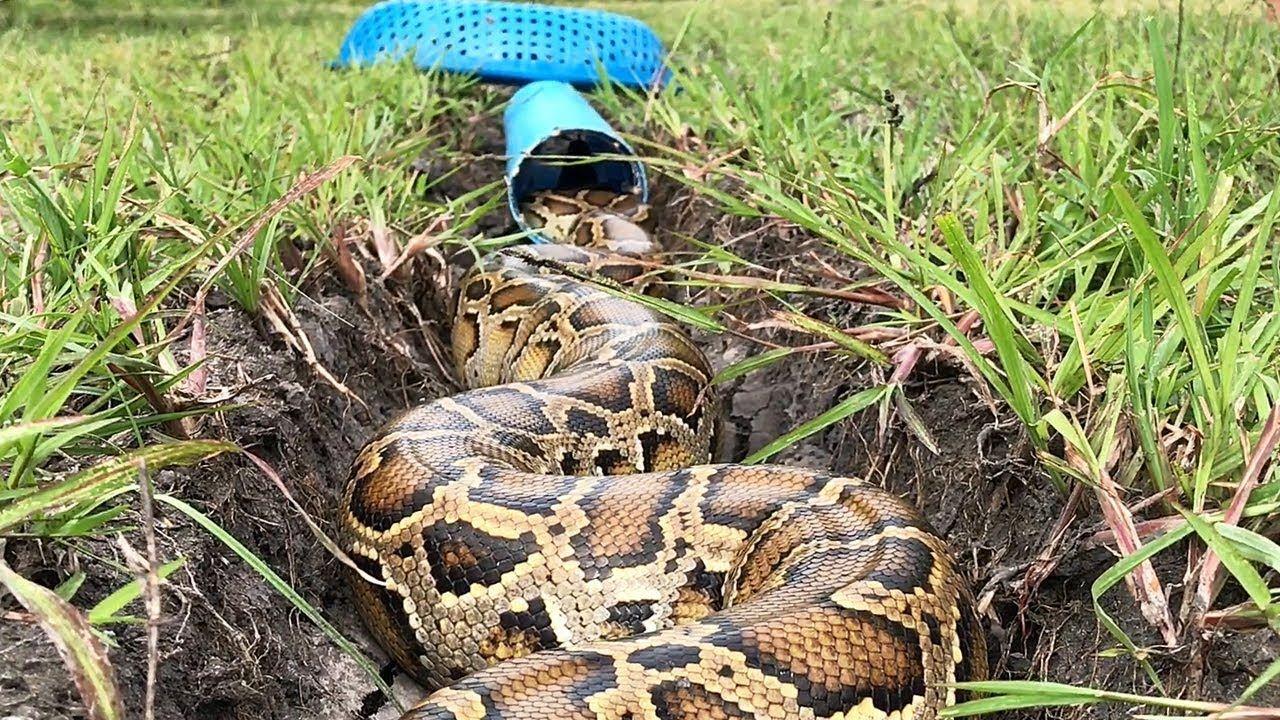 Build simple pvc snake trap catch big python snake snake