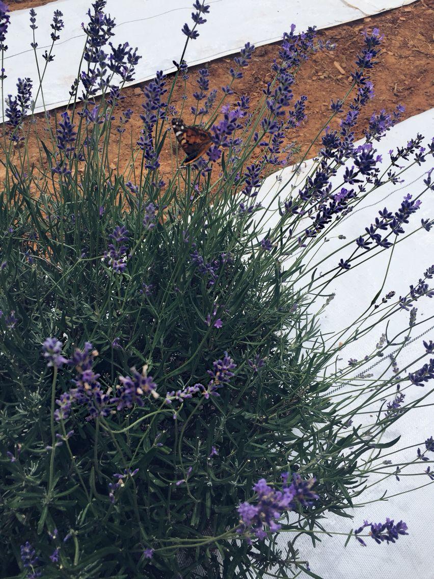 •~lavender farm~•