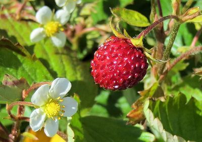 Forest Strawberries are already ripe. The most tasty strawberry of all. Hilkka Tikka