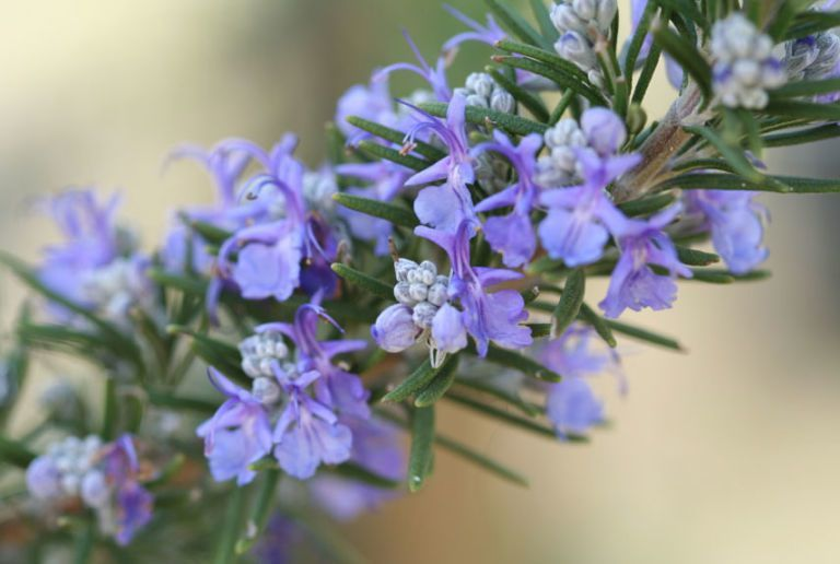 7 Herbs With Gorgeous Blooms In 2020 Rosemary Flower Medicinal Herbs Herbs For Sleep