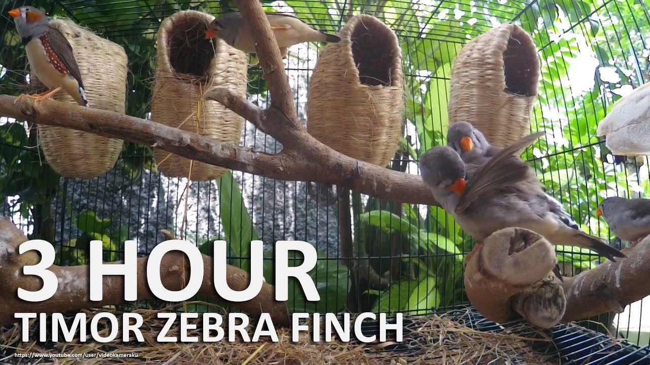Timor Zebra Finch Song - 3 Hours Finch Sounds   Zebra ...